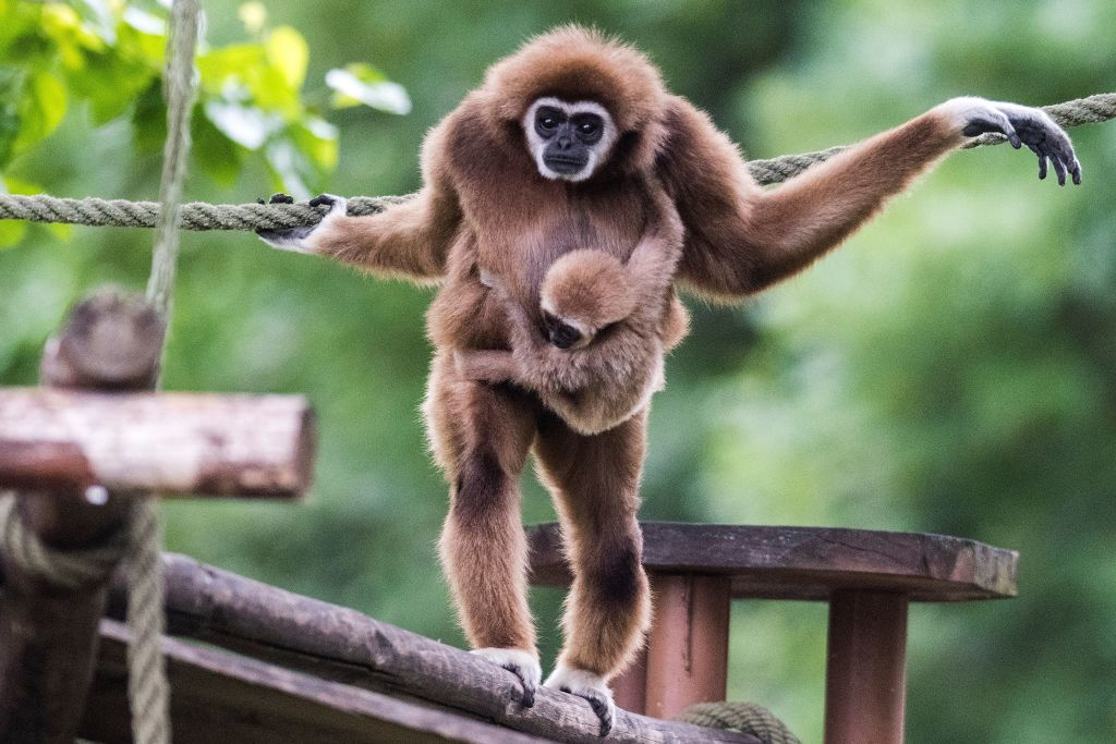 GettyImages-1145270840 A first white-handed gibbon infant