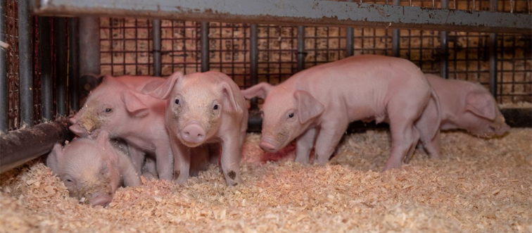 five piglets playing in a pen