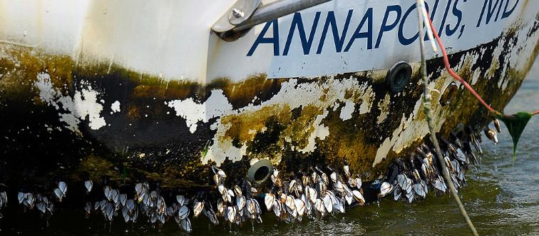 What is the first step to removing barnacles from a boat?