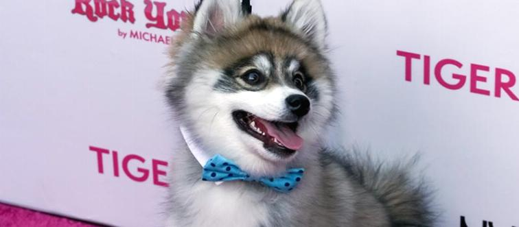 A Pomsky smiles at an event wearing a bowtie.