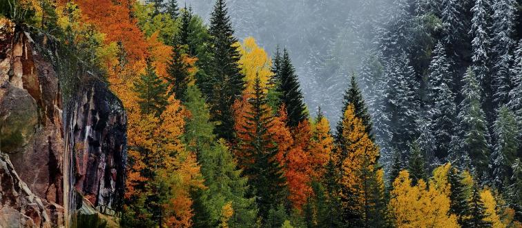 Fir trees change colors in autumn.